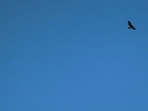 female golden eagle