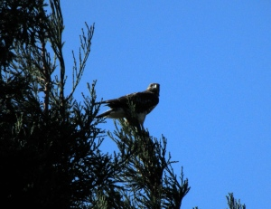 Gorgeous red-tail, sitting on a cedar