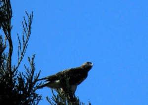 incredible red-tail, perched on some cedars