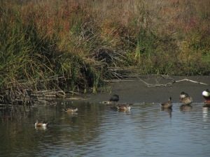 The dude with the red bill is a rare bird for this area called a Gallinule
