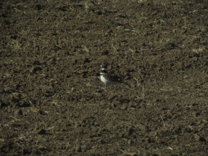 A little killdeer, hanging out with red-tails and harriers