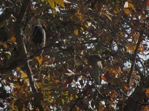 juvie black-crowned night heron