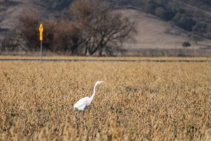 Great egret and a road sign