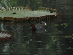 Hawaiian moorhen in Waimea Valley