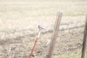 Gorgeous male bluebird