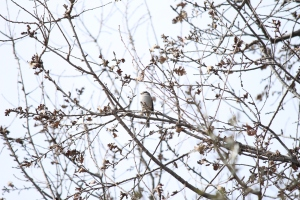 White-crowned sparrow, too cute to pass up