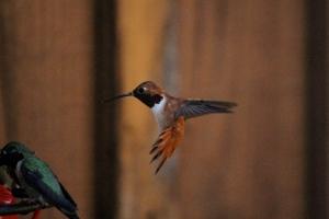 Allen's hummingbird, I'm obsessed