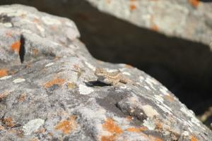 Western fence lizard, so funny :)