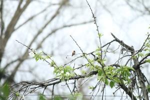 Little male rufous hummingbird on the cherry tree