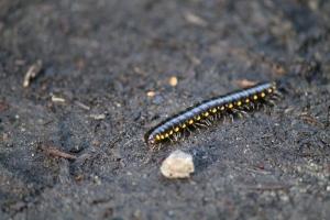 Princess millipede