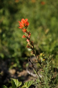 Might be woolly paintbrush...might be indian paintbrush.