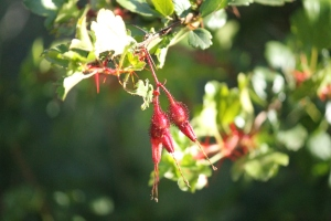 Fuschia-flowering gooseberry