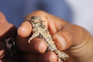 Horned lizard!!!