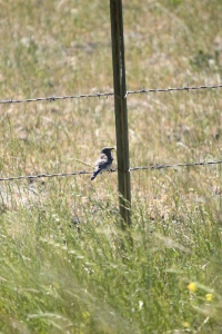 Baby bluebird, one of four