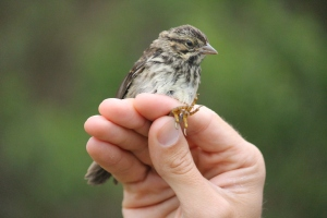 Baby song sparrow! Hilarious and adorable!