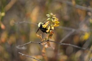 Little bumblebee.