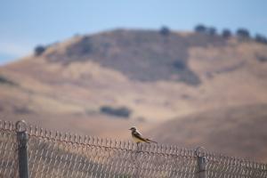 Mama kingbird