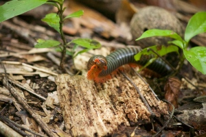 Giant millipede