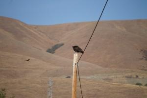 Turkey Vulture, so handsome :)