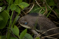 Not a rattlesnake!