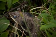 Hognose snake :) Heterodon platirhinos