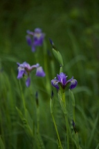 Irises :)